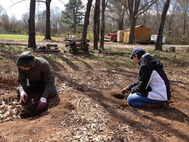 Planting Pawpaw trees.