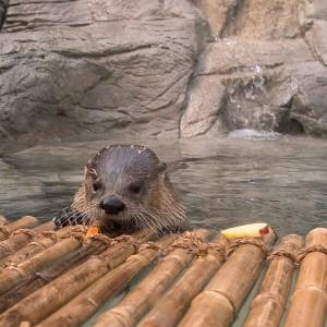 otter interacting with raft in aquarium tank