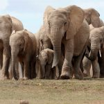 A herd of African elephants walks in Addo Elephant National Park, some 60 kms outside of Port Elizabeth on Nov. 15, 2009. Photo credit Alexander Joe / AFP/Getty Images