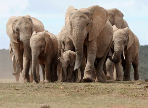 A herd of African elephants walks in Addo Elephant National Park, some 60 kms outside of Port Elizabeth on Nov. 15, 2009. Photo credit Alexander Joe / AFP/Getty Images